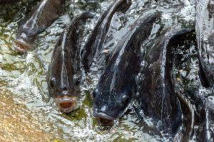 Image de pisciculture