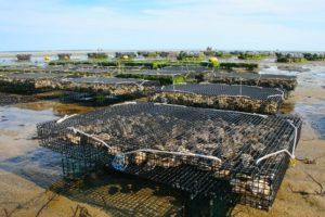 exemple d'aquaculture : conchyliculture